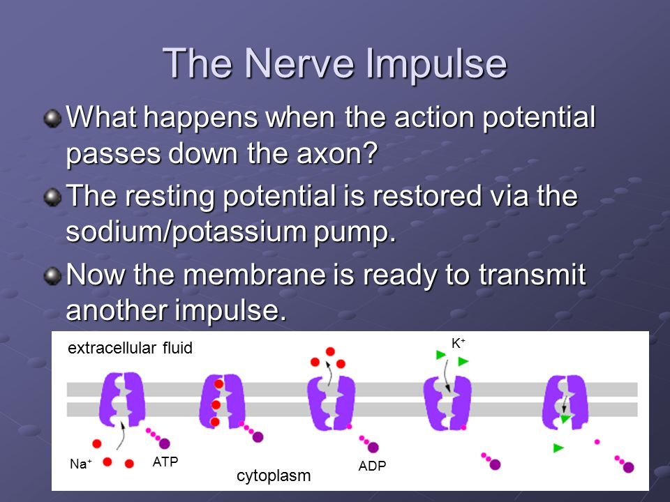 The Nerve Impulse What happens when the action potential passes down the axon The resting potential is restored via the sodium/potassium pump.
