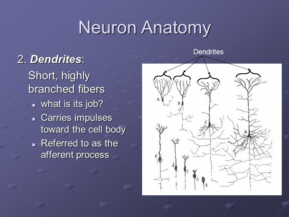 Neuron Anatomy 2. Dendrites: Short, highly branched fibers