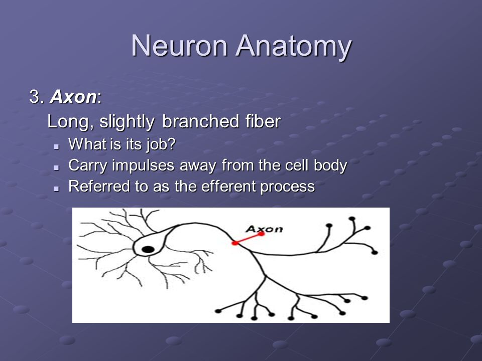 Neuron Anatomy 3. Axon: Long, slightly branched fiber What is its job