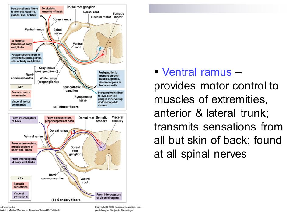 The Nervous System Spinal Cord, Spinal Nerves & Tracts - ppt video ...