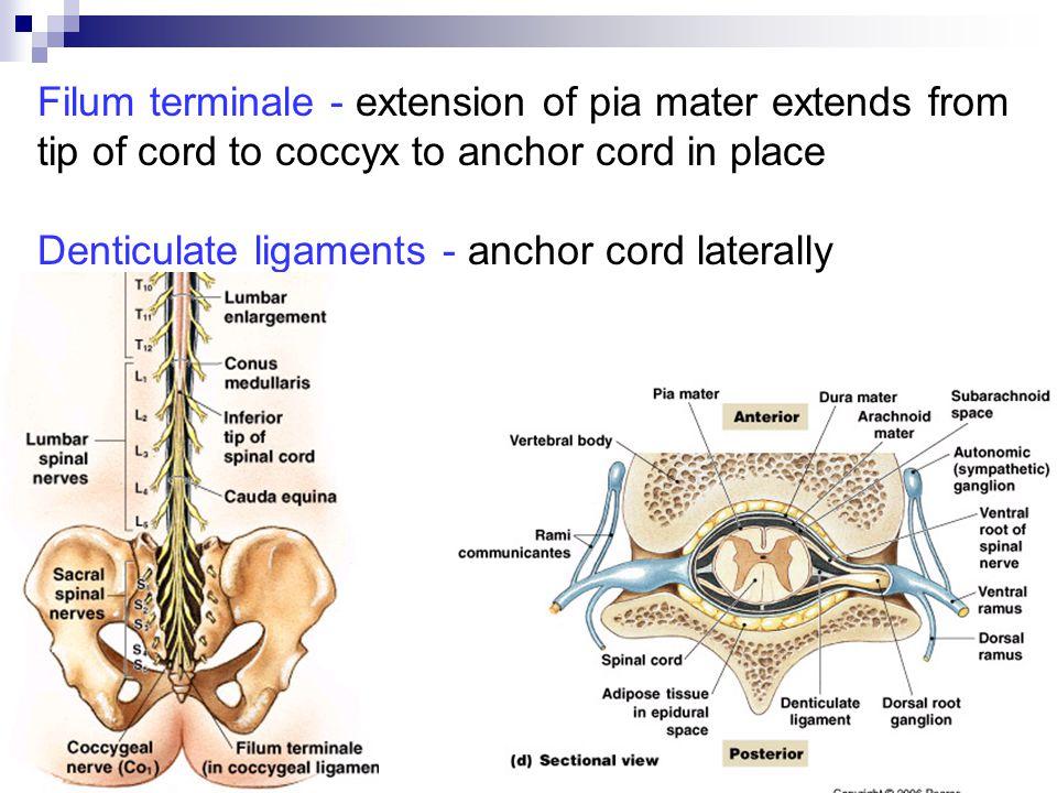 The Nervous System Spinal Cord Spinal Nerves Tracts Ppt Video Online Download Der untere abschnitt wird als filum terminale externum bezeichnet. the nervous system spinal cord spinal