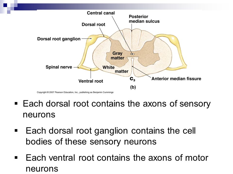 The Nervous System Spinal Cord Spinal Nerves Tracts Ppt Video