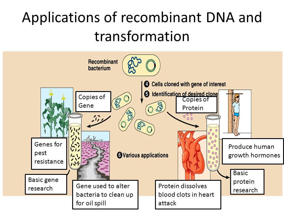 Applications of recombinant DNA and transformation