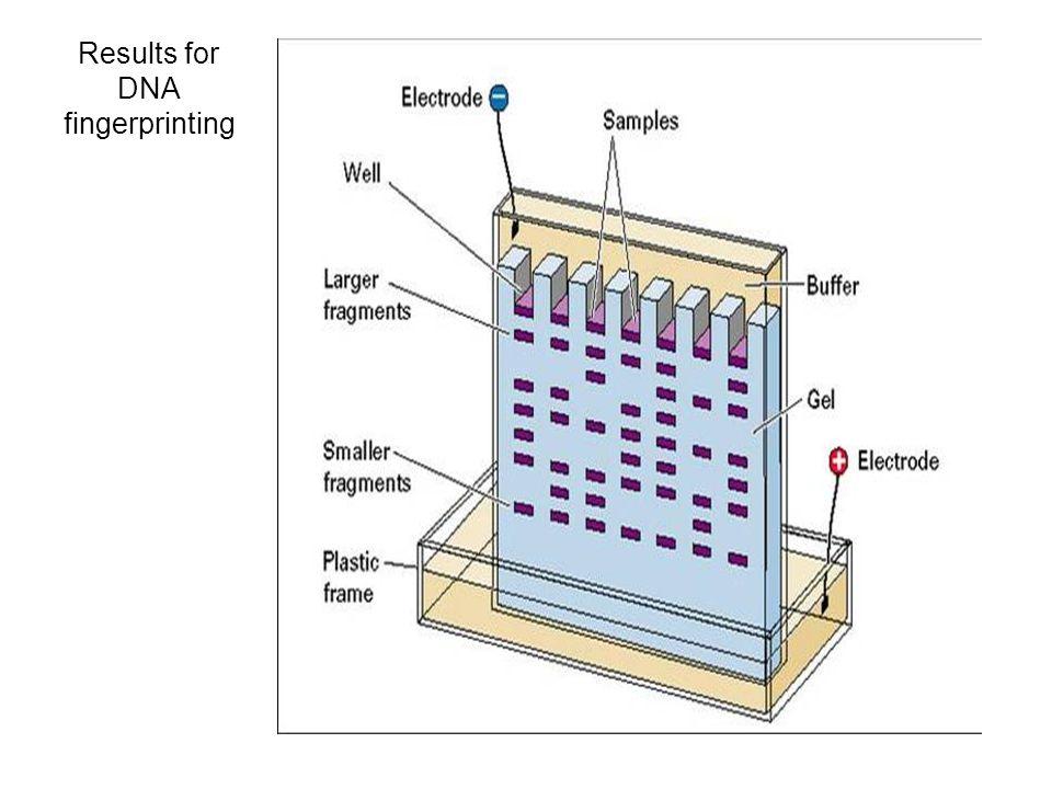 Stages in dna fingerprinting ppt video online download 3 results for dna fingerprinting ccuart Gallery