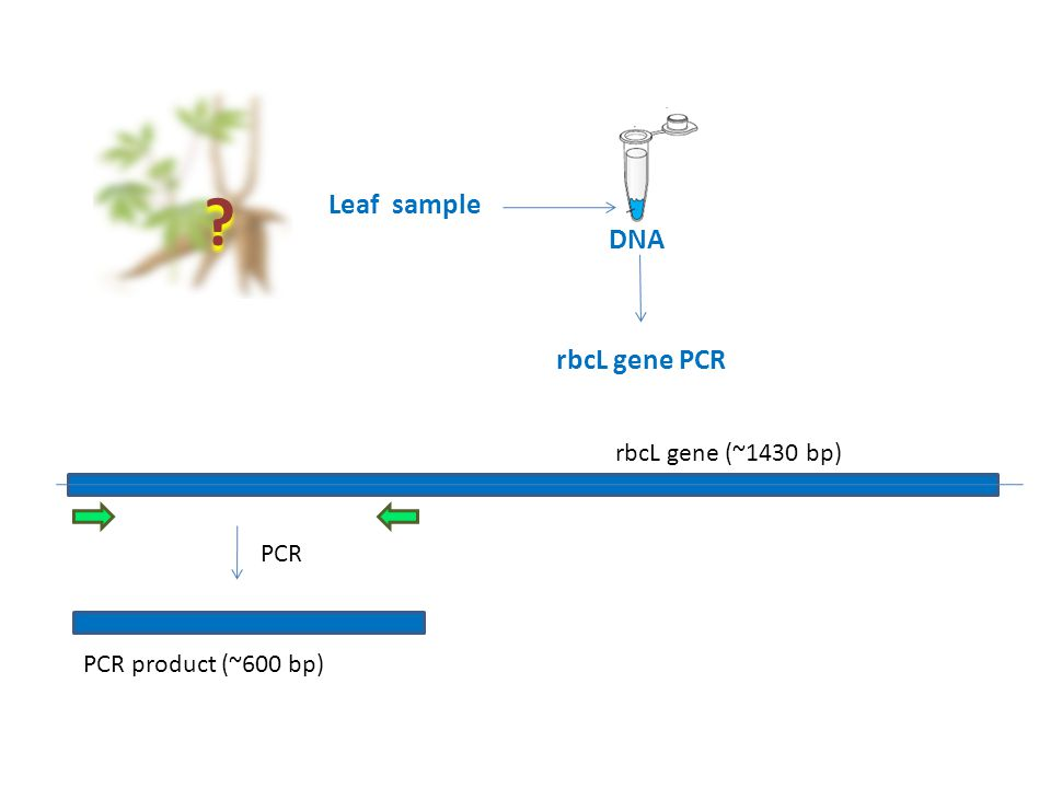 Leaf sample DNA rbcL gene PCR rbcL gene (~1430 bp) PCR