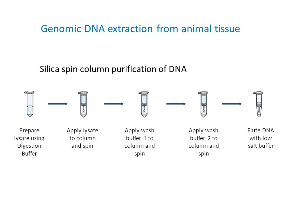 Genomic DNA extraction from animal tissue