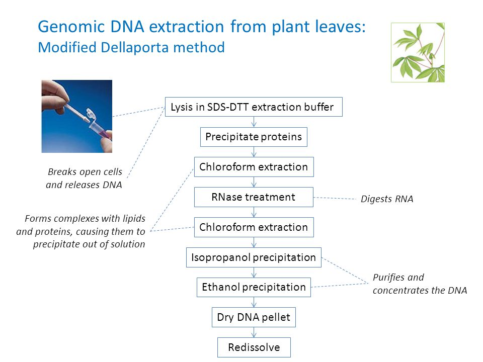 Genomic DNA extraction from plant leaves: Modified Dellaporta method