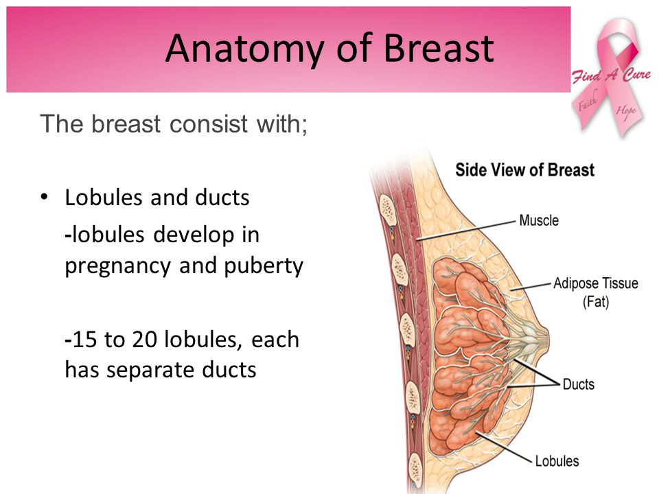 Anatomy of Breast The breast consist with; Lobules and ducts