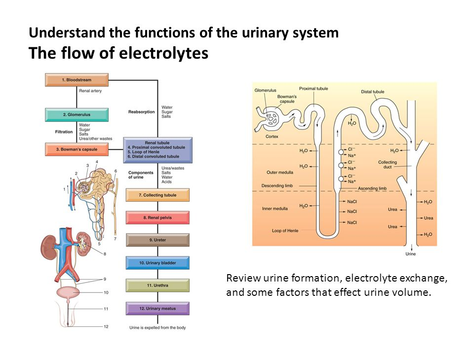 The urinary system health sciences ppt video online download understand the functions of the urinary system the flow of electrolytes ccuart Images