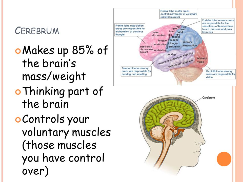 Parts Of The Brain Ppt Video Online Download