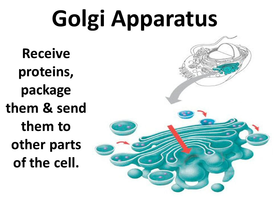 Receive proteins, package them & send them to other parts of the cell.