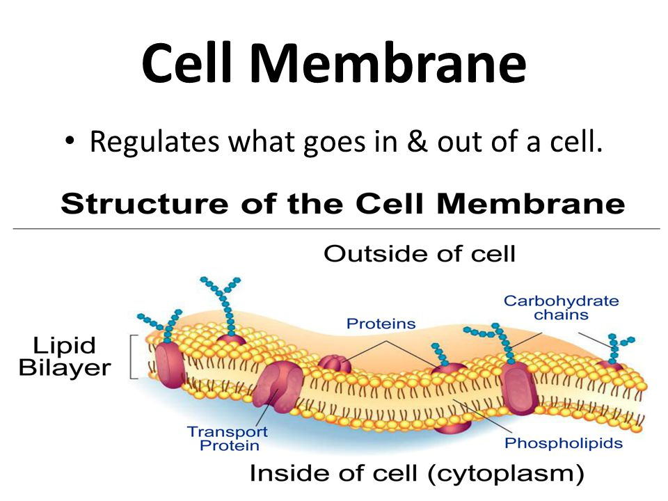 Regulates what goes in & out of a cell.
