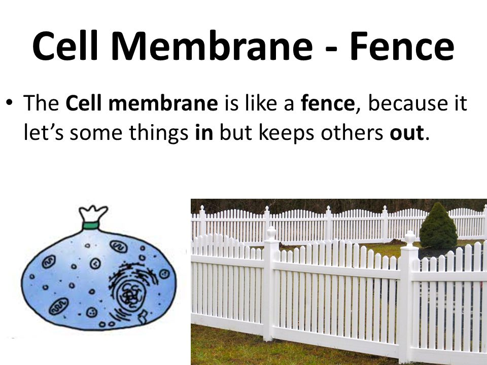 Cell Membrane - Fence The Cell membrane is like a fence, because it let's some things in but keeps others out.