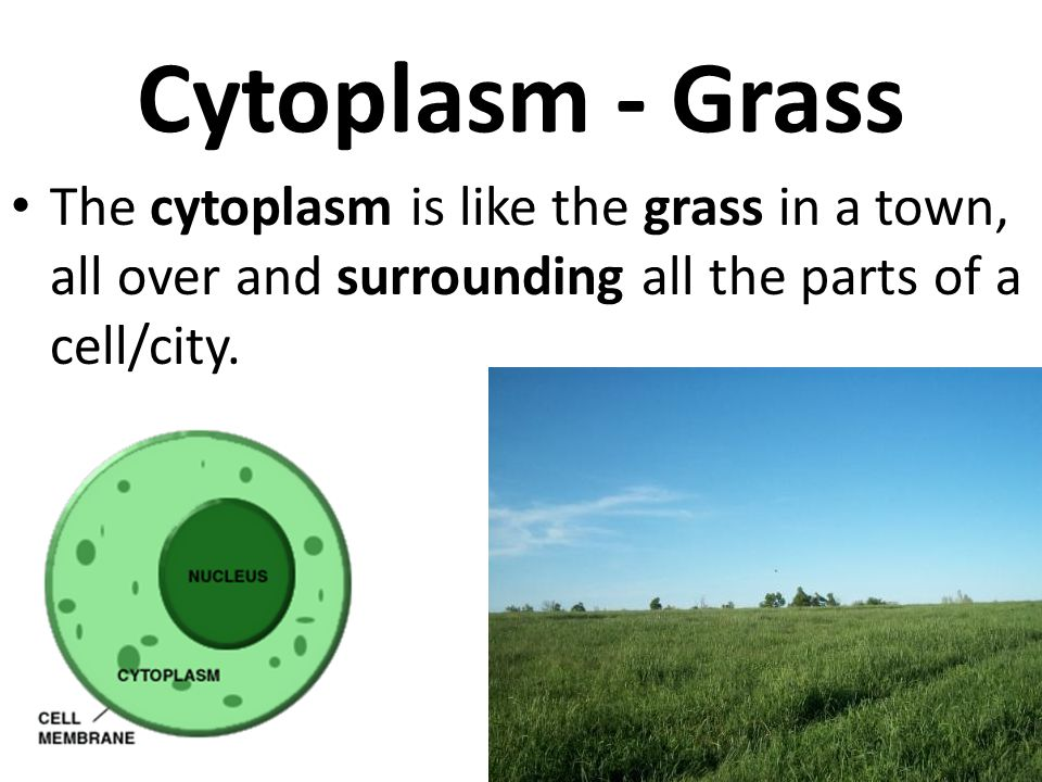 Cytoplasm - Grass The cytoplasm is like the grass in a town, all over and surrounding all the parts of a cell/city.