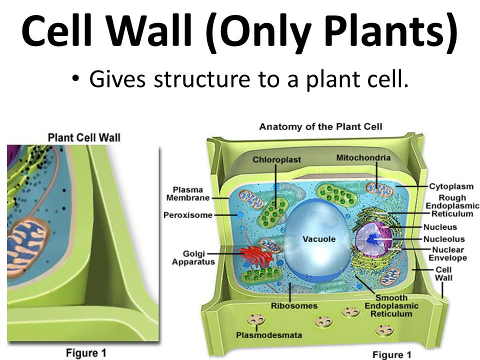 Cell Wall (Only Plants)