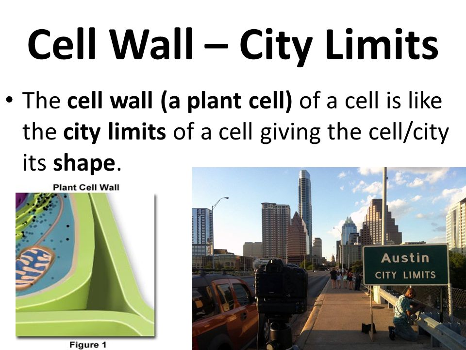Cell Wall – City Limits The cell wall (a plant cell) of a cell is like the city limits of a cell giving the cell/city its shape.