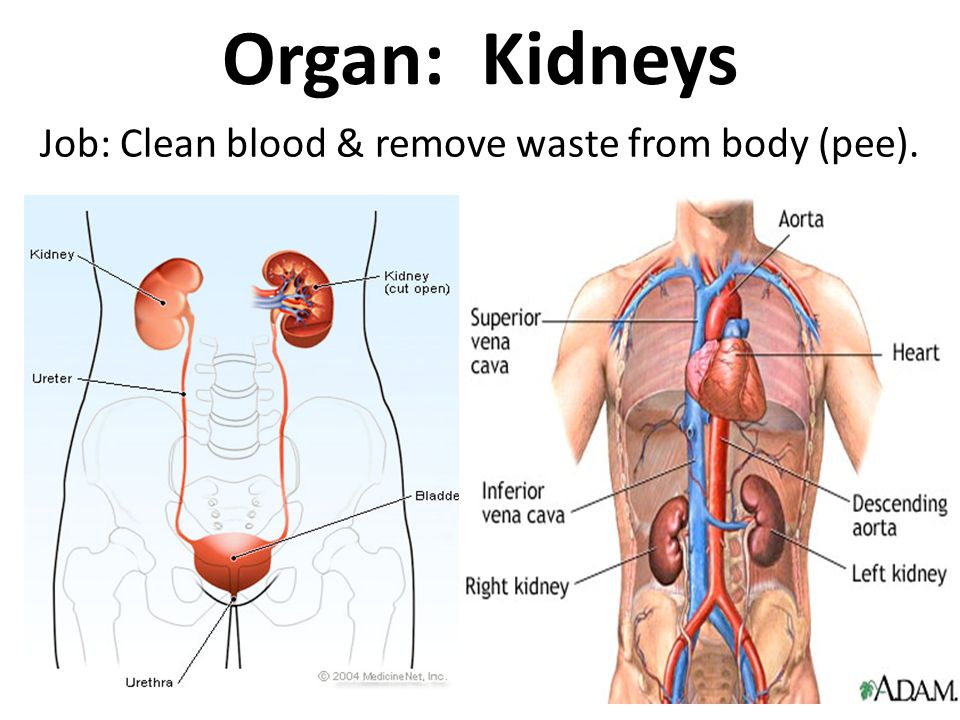 Job: Clean blood & remove waste from body (pee).