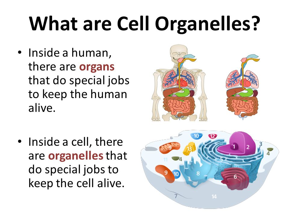 What are Cell Organelles
