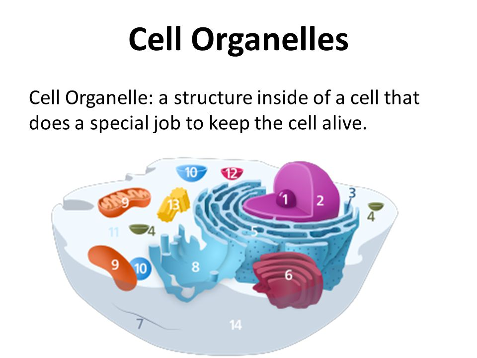 Cell Organelles Cell Organelle: a structure inside of a cell that does a special job to keep the cell alive.