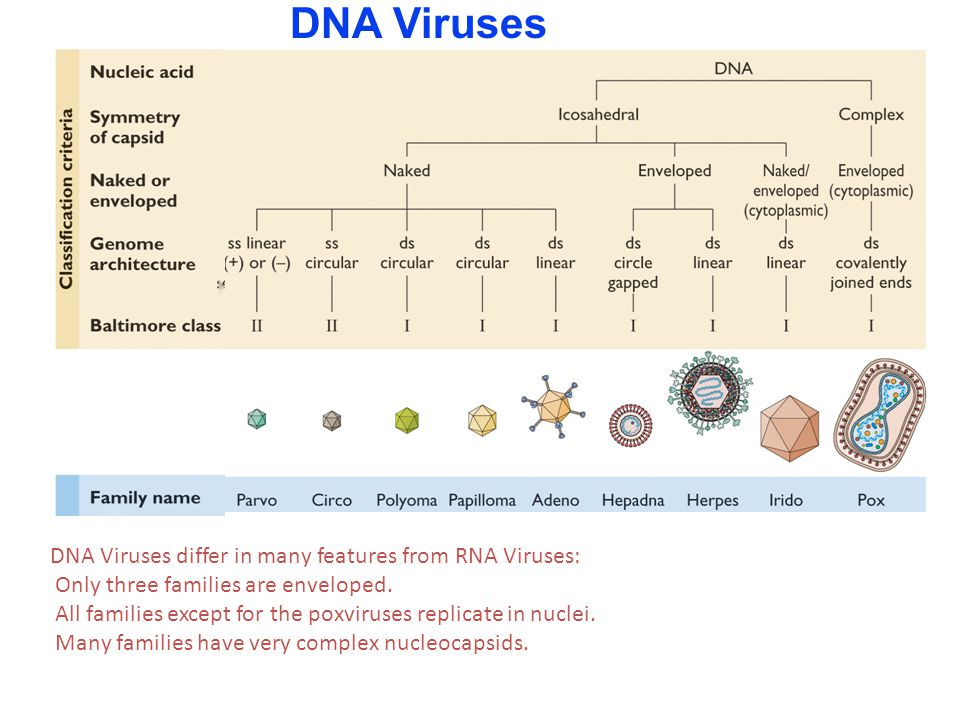 DNA Viruses DNA Viruses differ in many features from RNA Viruses: