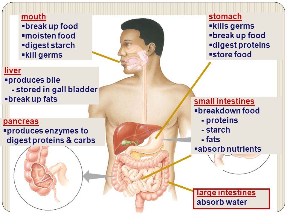 The Human Digestive System Ppt Download
