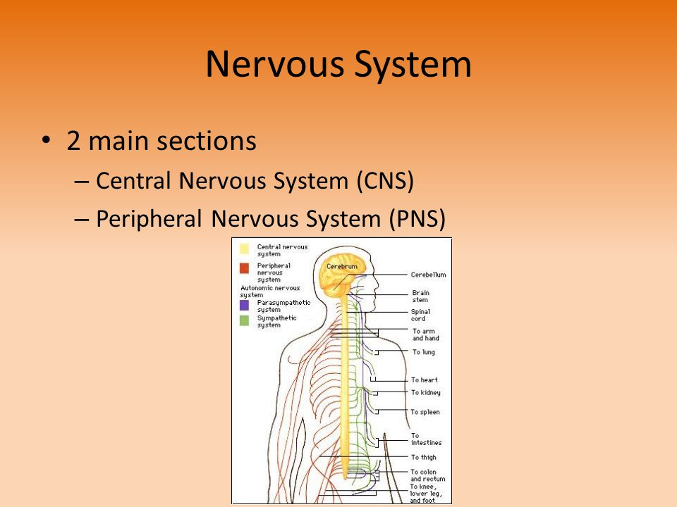 Nervous System 2 main sections Central Nervous System (CNS)