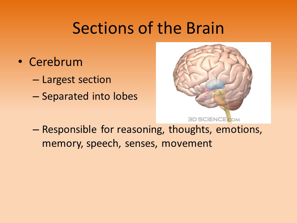 Sections of the Brain Cerebrum Largest section Separated into lobes