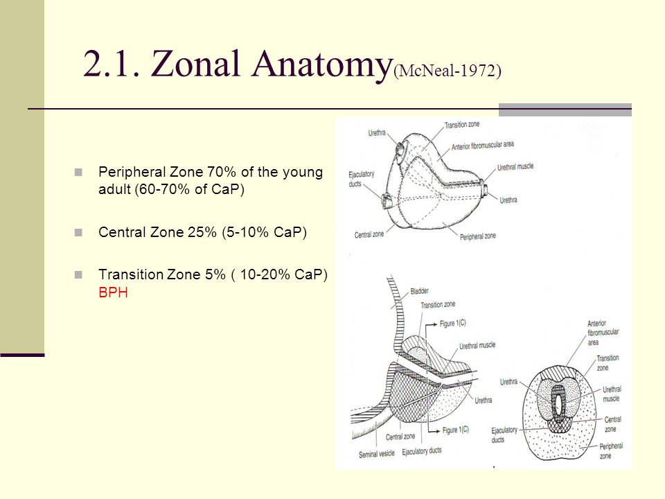 Colorful Zonal Anatomy Of The Prostate Component - Human Anatomy ...