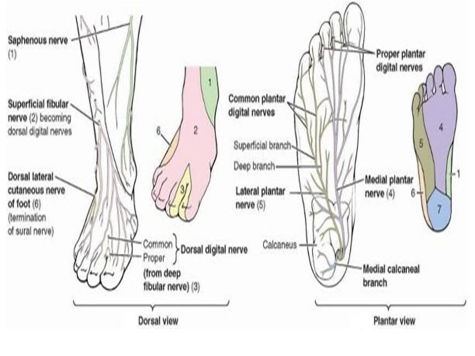 FOOT IN 30 QUESTIONS Exam of the Lower Extremities - ppt video ...
