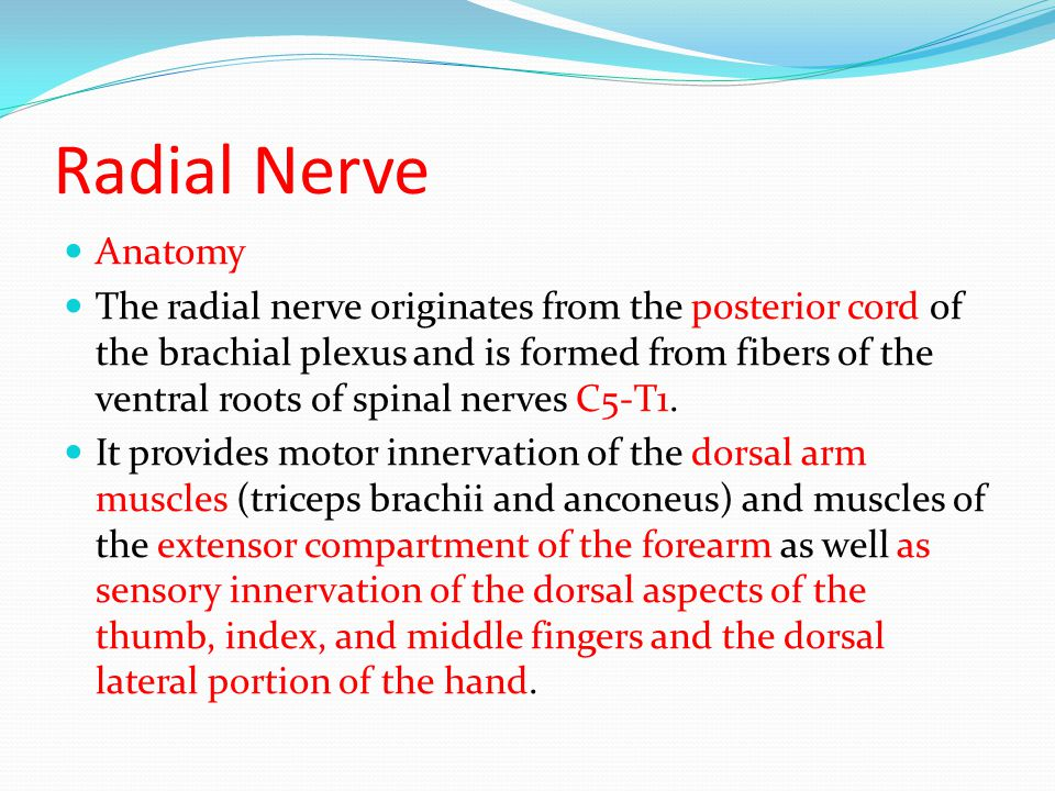 Funky Radial Nerve Anatomy Ppt Adornment - Image of internal organs ...