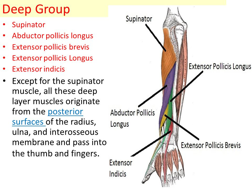 Muscles Of Posterior Compartment Of Forearm Ppt Video Online Download
