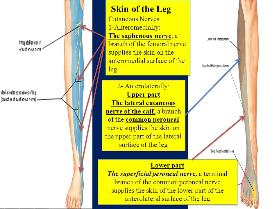 Skin of the Leg Cutaneous Nerves 1-Anteromedially: