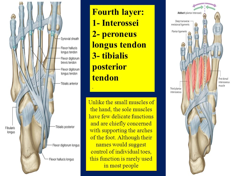 Anatomy Of The Leg Ppt Video Online Download