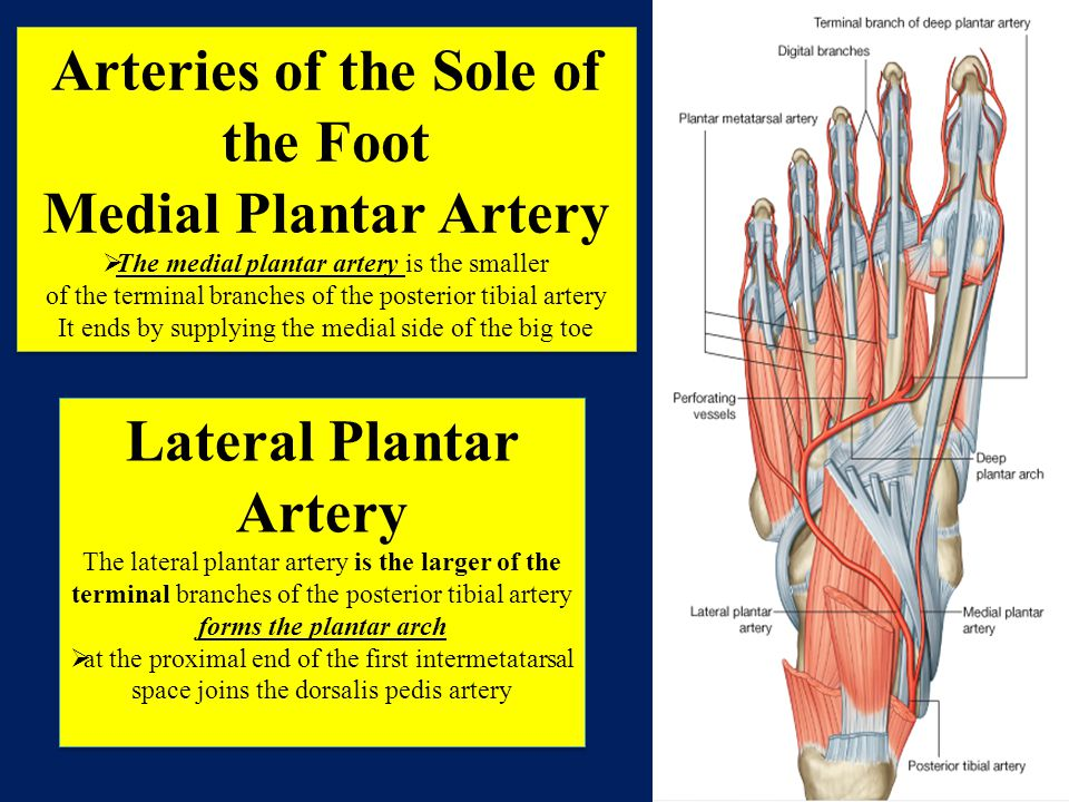 Arteries of the Sole of the Foot Lateral Plantar Artery