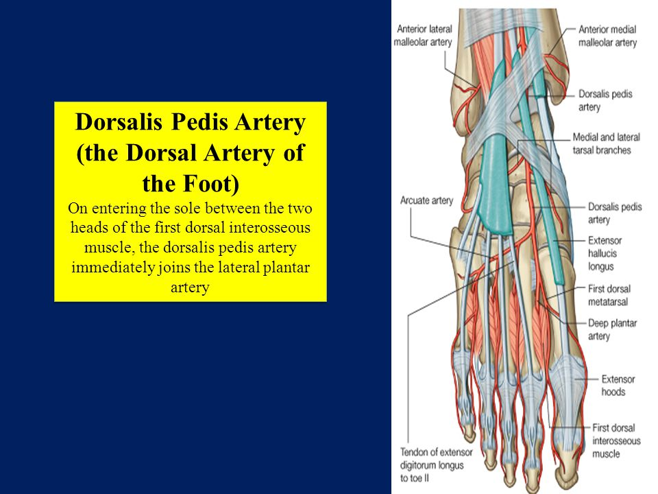 Dorsalis Pedis Artery (the Dorsal Artery of the Foot)
