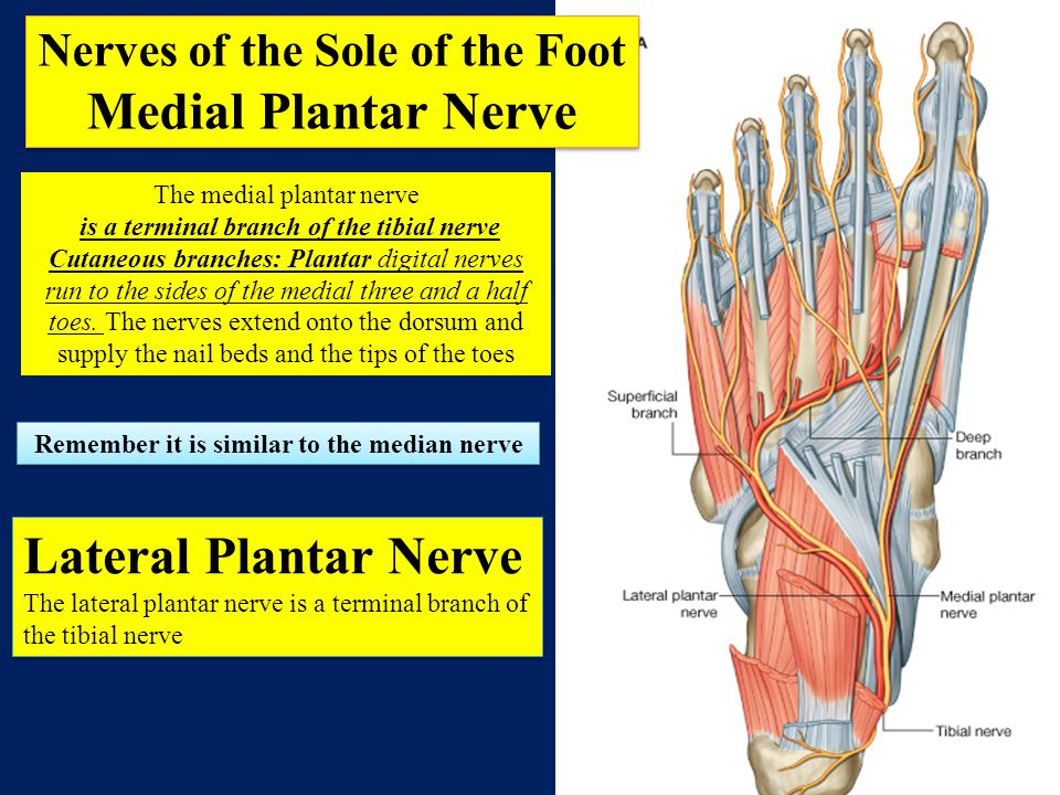 Nerves of the Sole of the Foot
