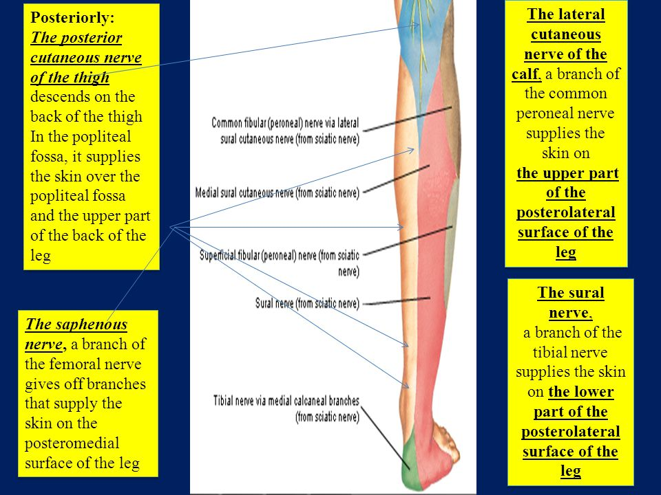 the upper part of the posterolateral surface of the leg