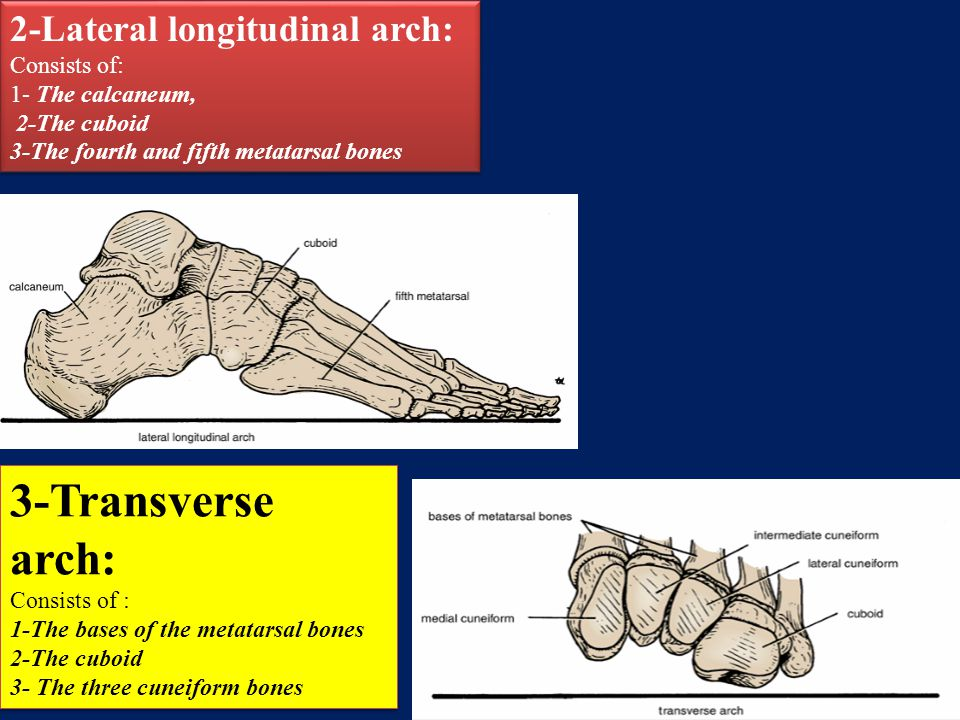3-Transverse arch: 2-Lateral longitudinal arch: Consists of: