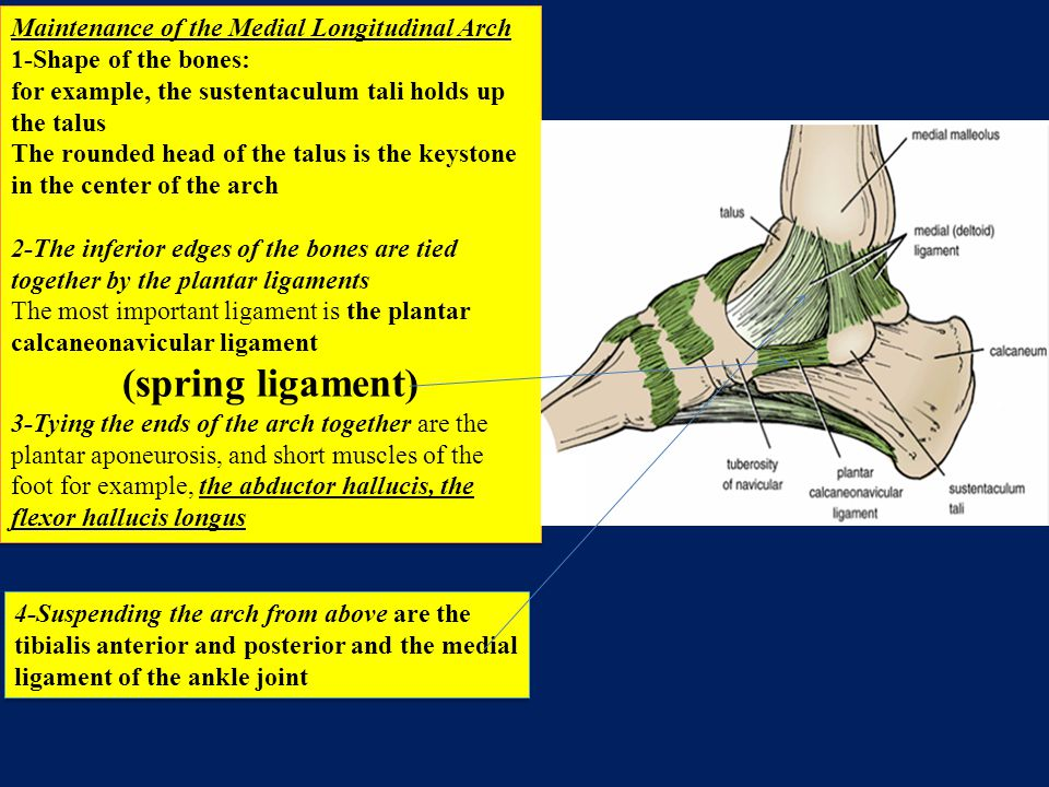 (spring ligament) Maintenance of the Medial Longitudinal Arch