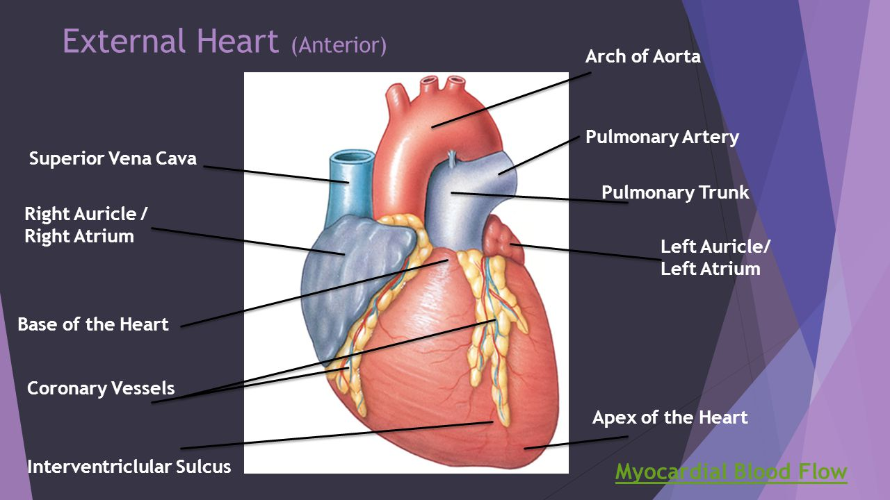 Septum And Apex Of Heart Diagram Wiring Diagram For Light Switch