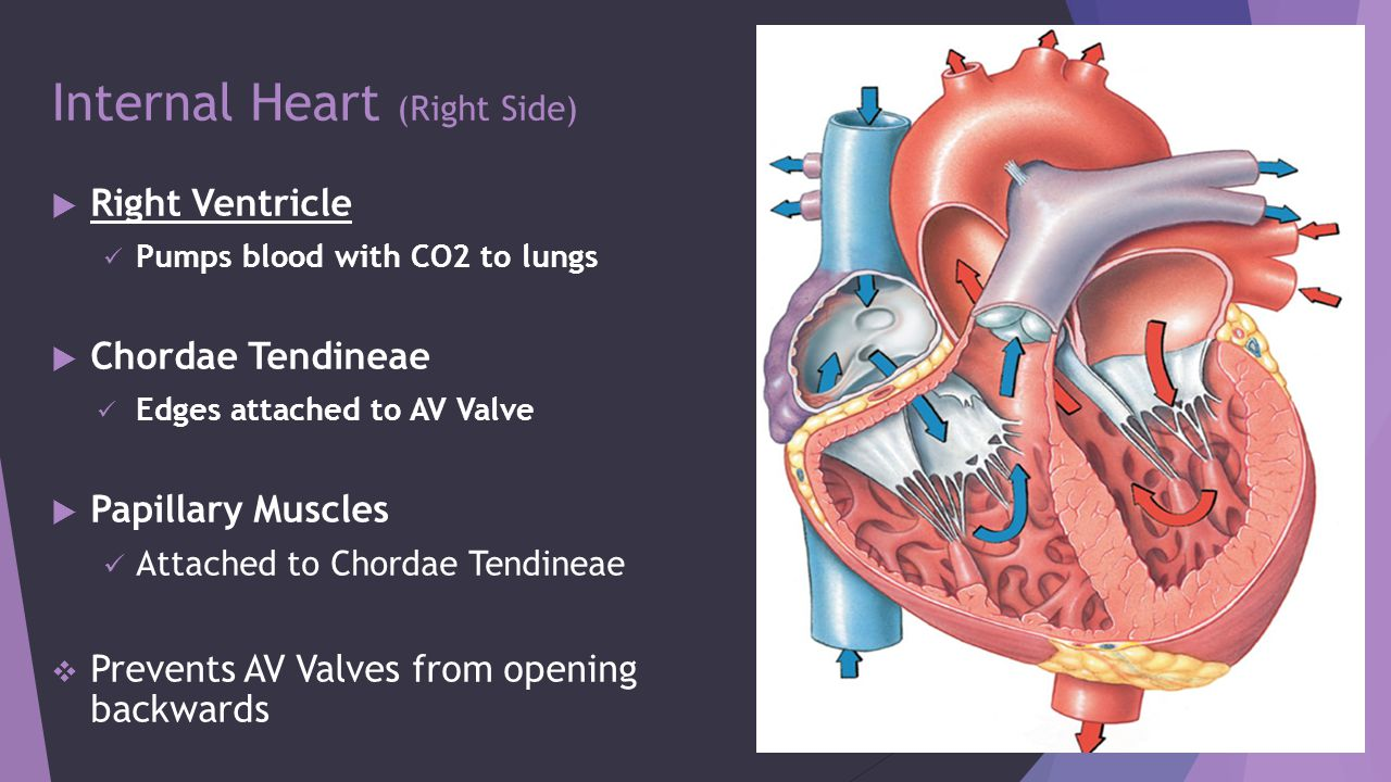 Internal Heart Interatrial Septum Interventricular Septum Ppt