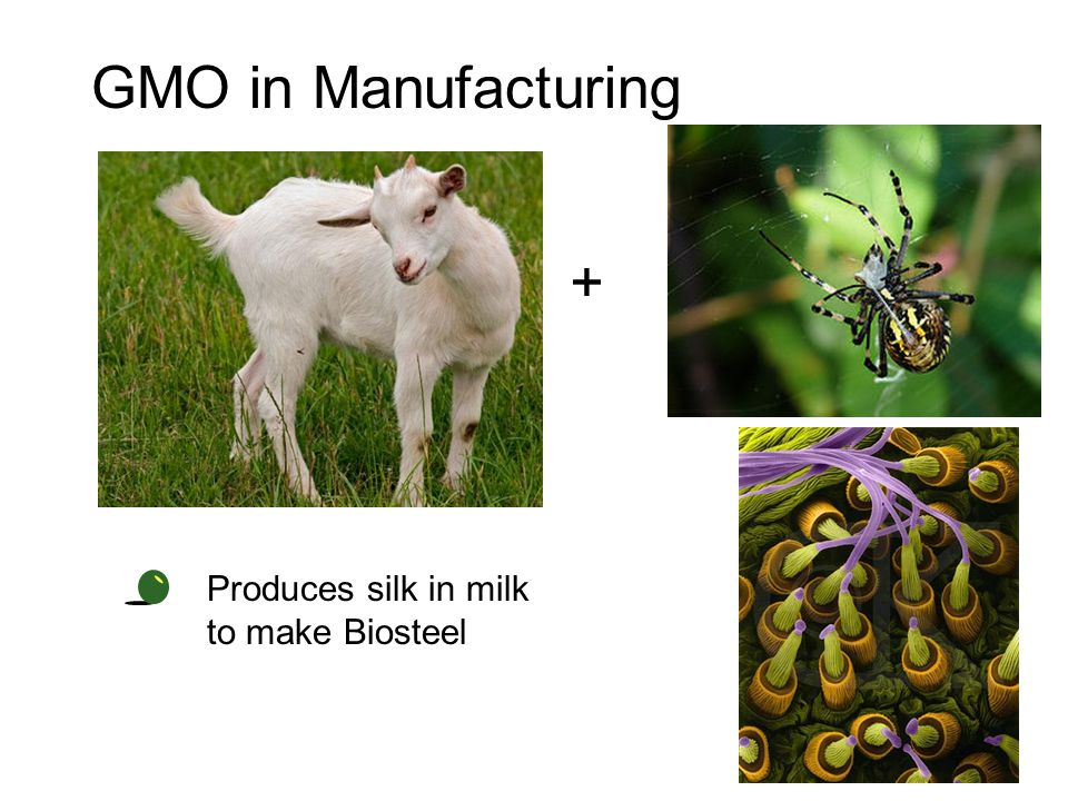 GMO in Manufacturing + Produces silk in milk to make Biosteel