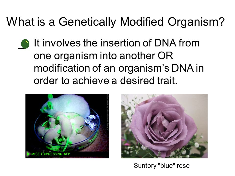 What is a Genetically Modified Organism