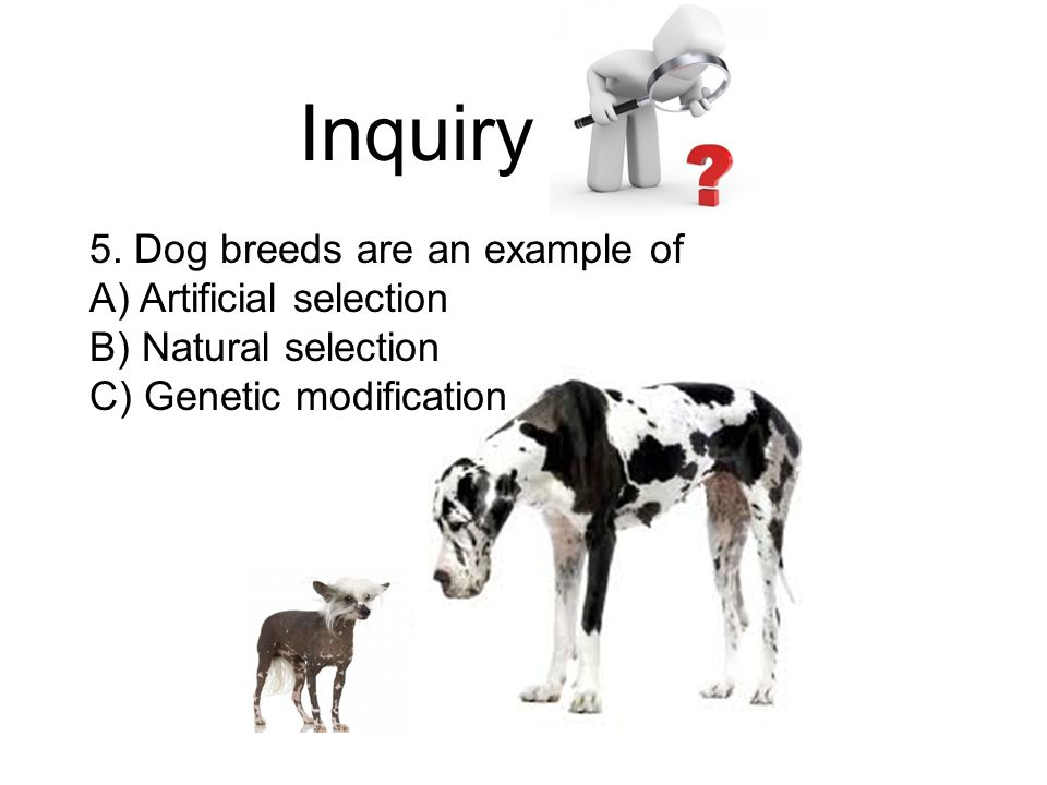 Inquiry 5. Dog breeds are an example of A) Artificial selection