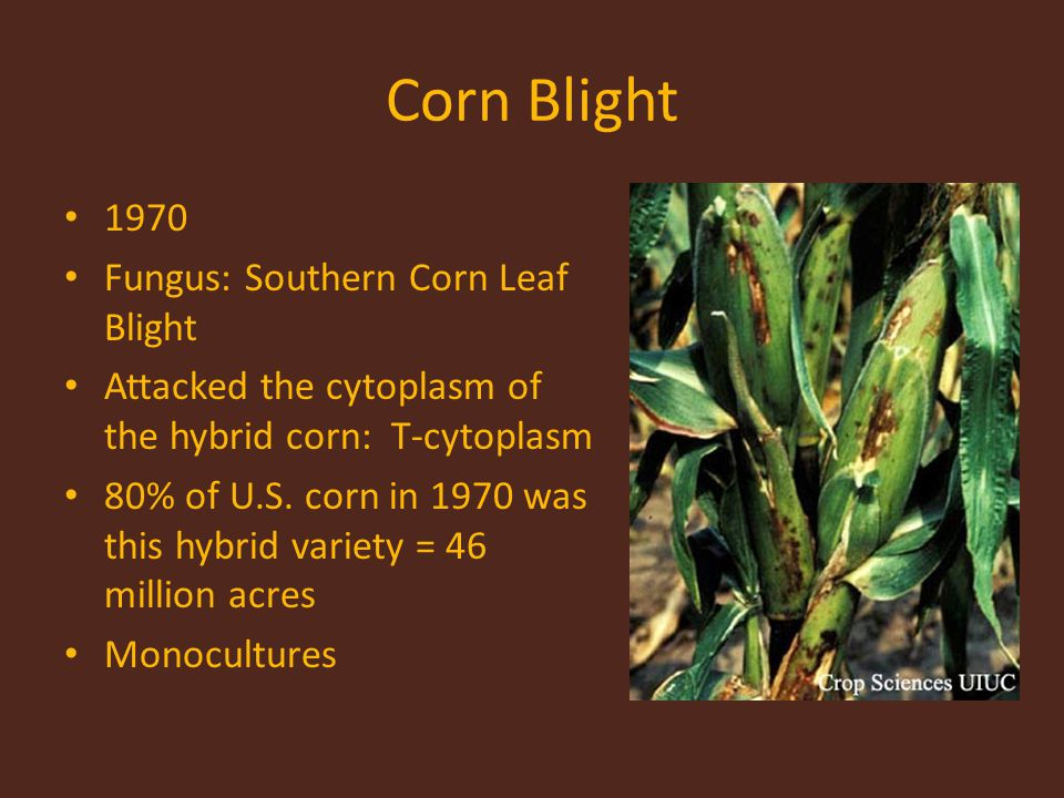 Corn Blight 1970 Fungus: Southern Corn Leaf Blight