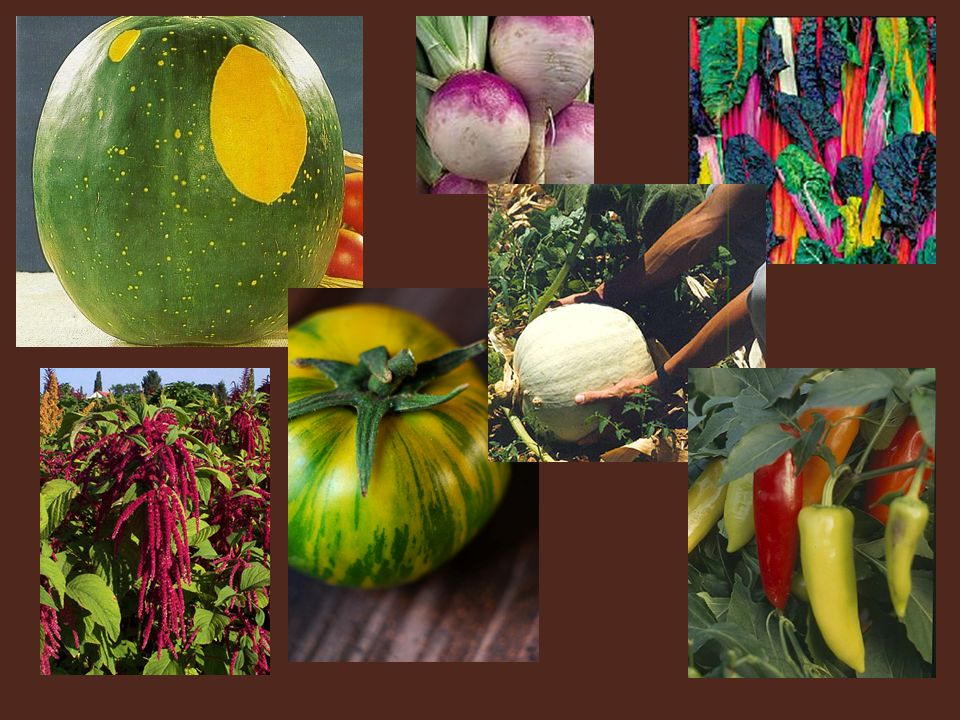 More examples… Moon and stars watermelon, bright lights swiss chard, zebra tomato.