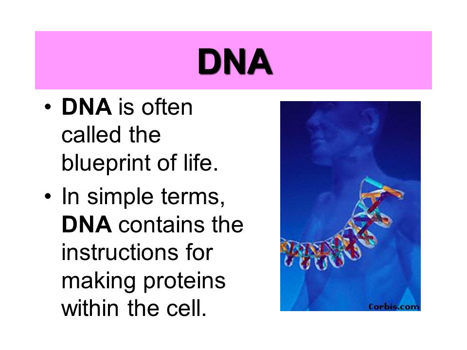 Chapter 9 chromosomes and dna replication ppt download 4 dna malvernweather Images