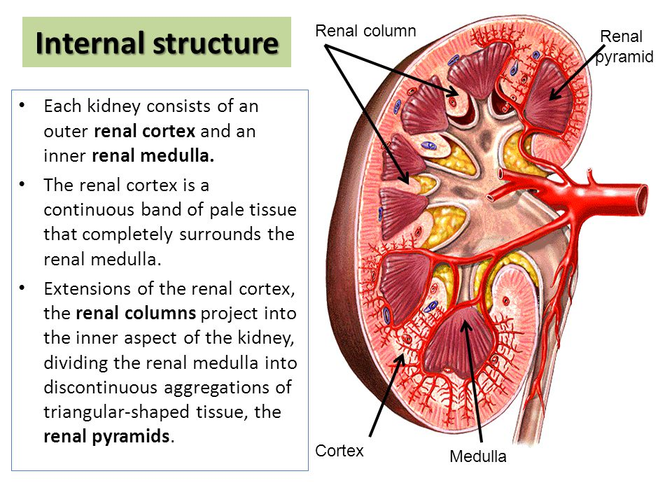 Anatomy Of The Kidney Ppt Video Online Download