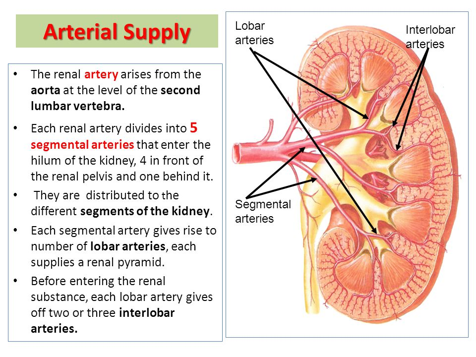 Anatomy of the kidney ppt video online download arterial supply lobar arteries interlobar arteries the renal artery arises from the aorta ccuart Images