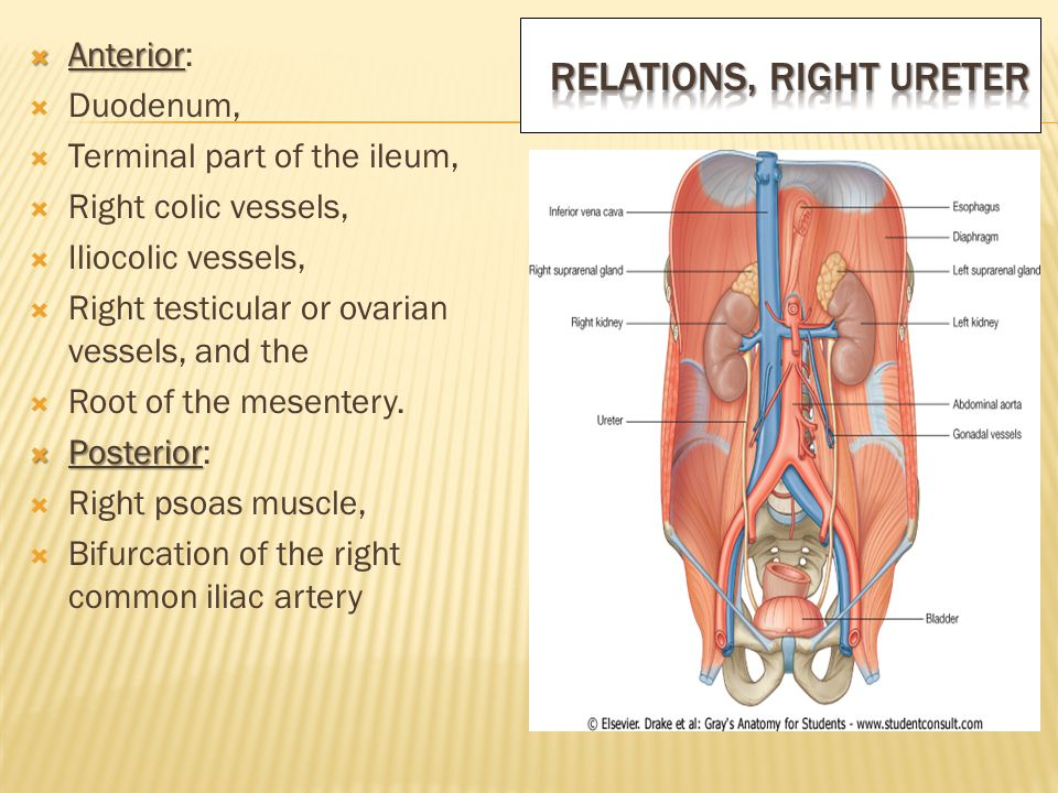 Functional Anatomy Of Kidneys Ureters Suprarenal Glands Ppt